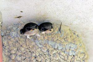 Zwei Mehlschwalben schauen aus ihrem Nest