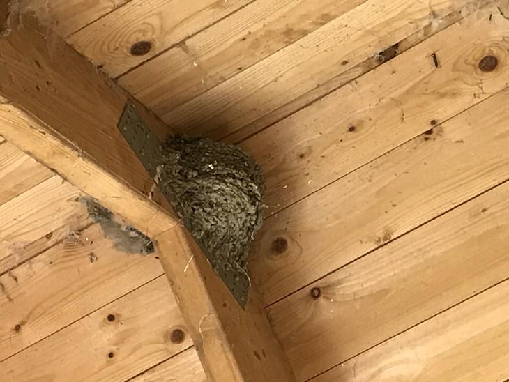 Nest einer Rauchschwalbe unterhalb des Schleppdaches des Gartenhauses in Grubnow
