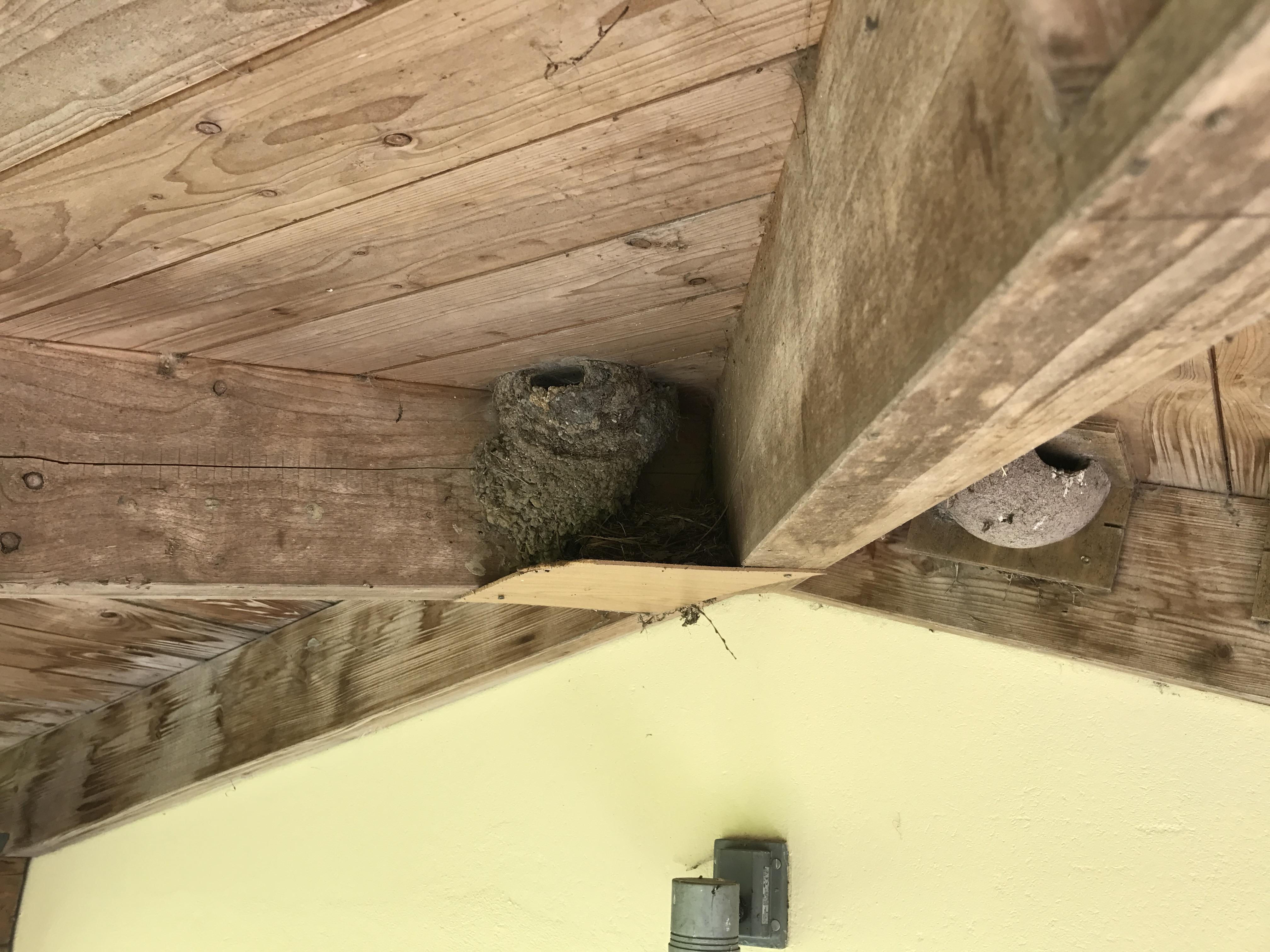 Mehlschwalben-Nest in der Balkenkonstruktion am Seiteneingang des Gut Grubnow
