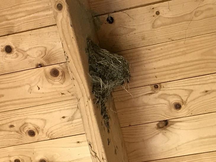 Rauchschwalben Nest in Grubnow