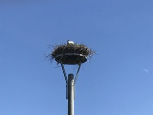 Brütender Storch vor Gingst auf Rügen